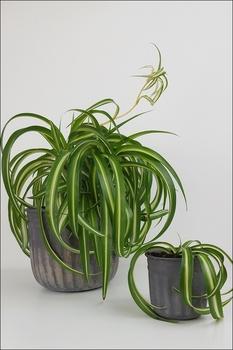 So vermehrt man eine Grünlilie
