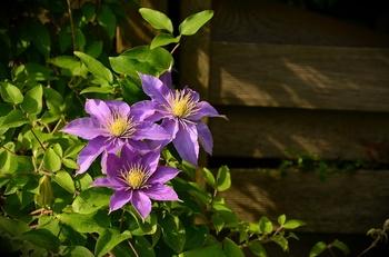 Die 8 attraktivsten Kletterpflanzen für den Garten