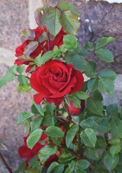 Erste Rosen,  viel Grünzeug und mehr – Grüße aus meinem Maigarten