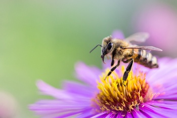 Bienenweiden mögen nährstoffarme Erde
