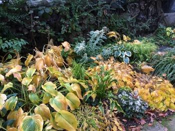 Hosta im Herbst