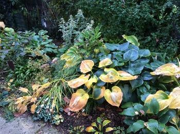 Hosta in Herbstfärbung