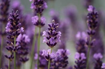 Wann und wie schneidet man Lavendel?