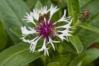 Bienen anlocken, so geht's richtig (Liste von Bäumen und Sträuchern)