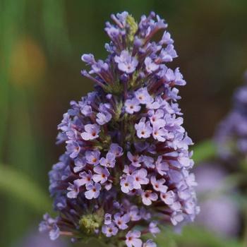 Blütenpracht im Sommergarten Farbenvielfalt blühender Sträucher