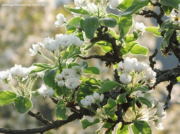 Birne im Blütenrausch