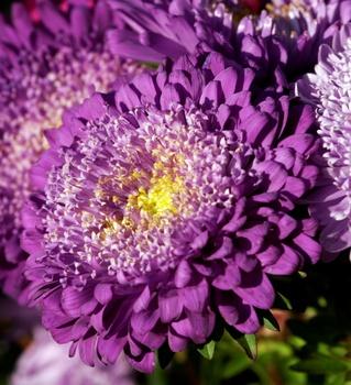 Chrysanthemen mehrjährig