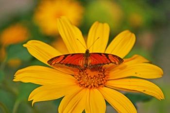 Schmeterling und Sonnenblumen