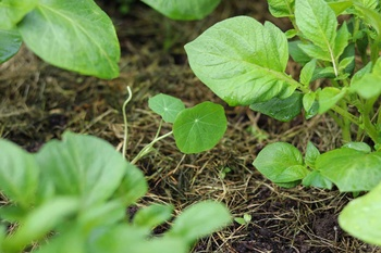 Mischkultur einfach erklärt am Beispiel des Milpa-Beets