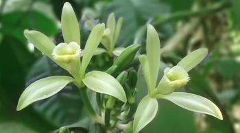 Vanille selber anbauen – eine Orchidee fürs Bad