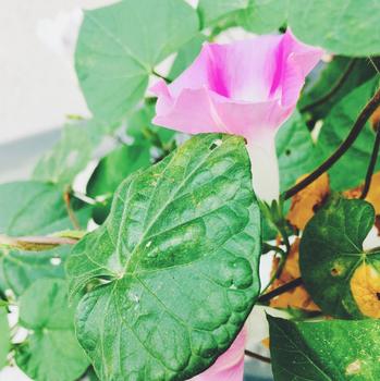 Prunkwinde am Balkon – für eine einmalige Blütenpracht am frühen Morgen