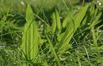 Spitzwegerich-Blätter für Husten-Honig sammeln
