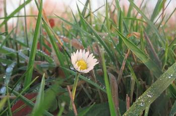 Essbare Gänseblümchen blühen das ganze Jahr