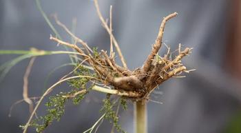 Echter Baldrian – ein Wildpflanzenporträt