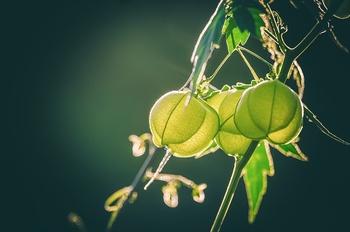 Erdkirsche am Balkon – Zierstaude und Nutzpflanze zugleich