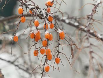 Wildpflanzen im Winter: Superfood Sanddorn