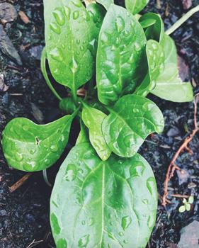Spinat in der Balkonkiste anbauen