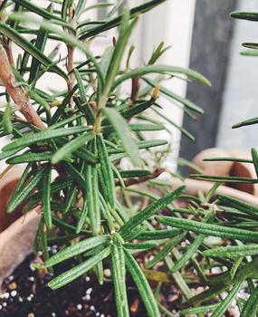 Rosmarin am Balkon – dieses Kraut kannst du auch im Winter ernten