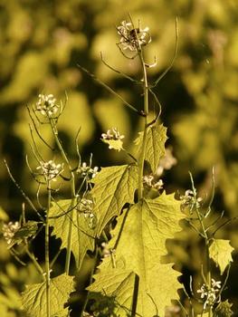 Knoblauchsrauke sammeln – praktische Gewürzpflanze für die Küche