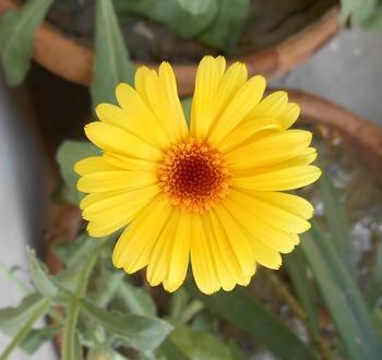 Ringelblume auf dem Balkon