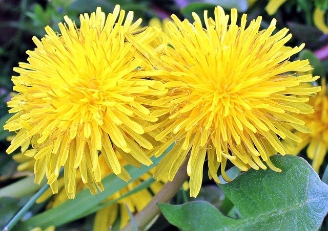 Der Löwenzahn blüht – essbare Wildpflanze vom Feinsten!