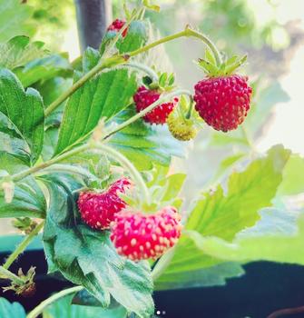 Erdbeeren am Balkon