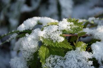 Wildkräuter im Winter – Brennnesseln für Tee und Suppe sammeln